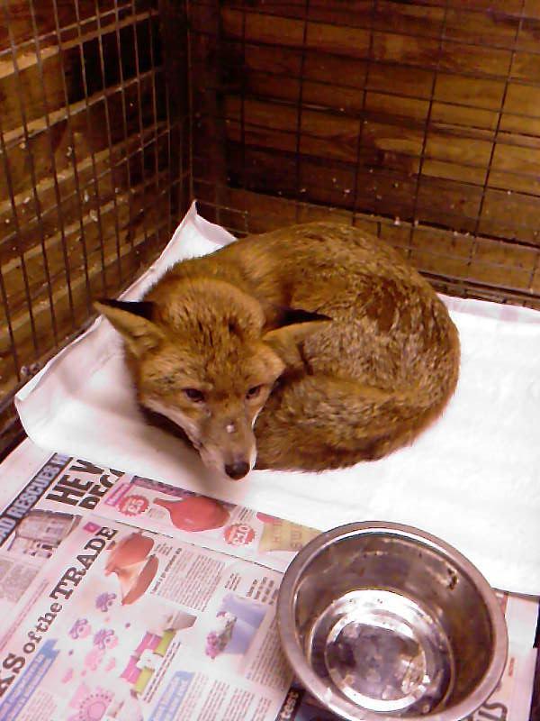 Fox recovering