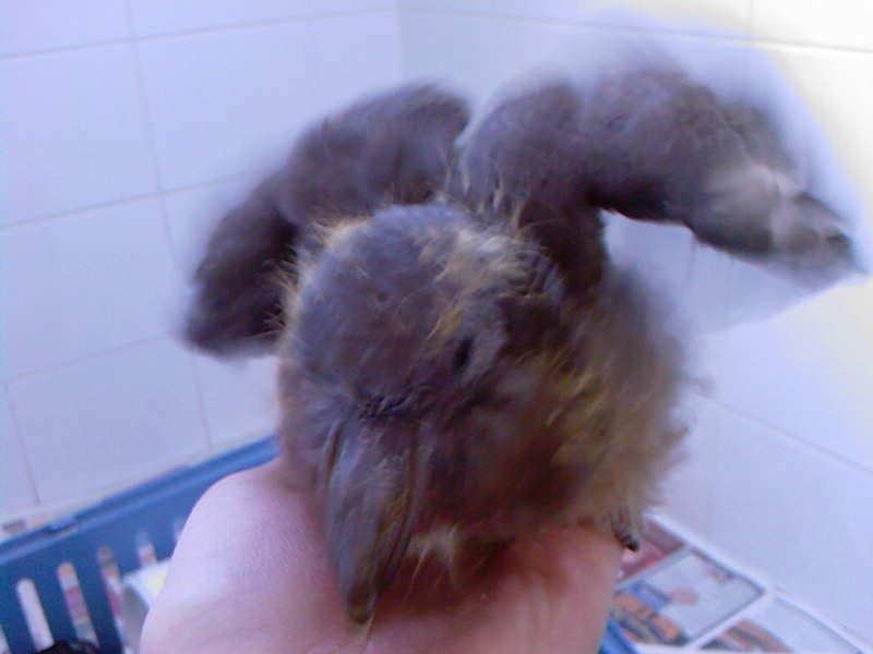 Squab - baby woodpigeon