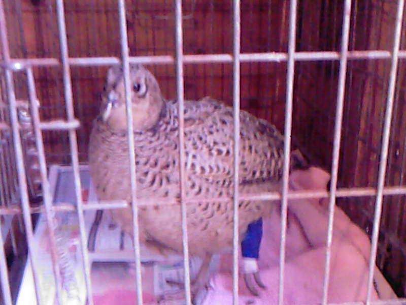 Broken leg - hen pheasant