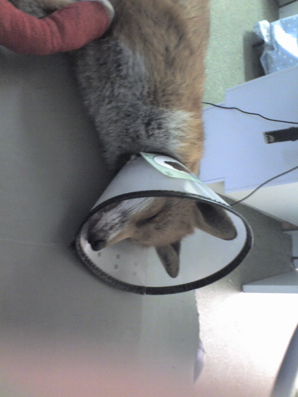 RTA fox - sedated for examination