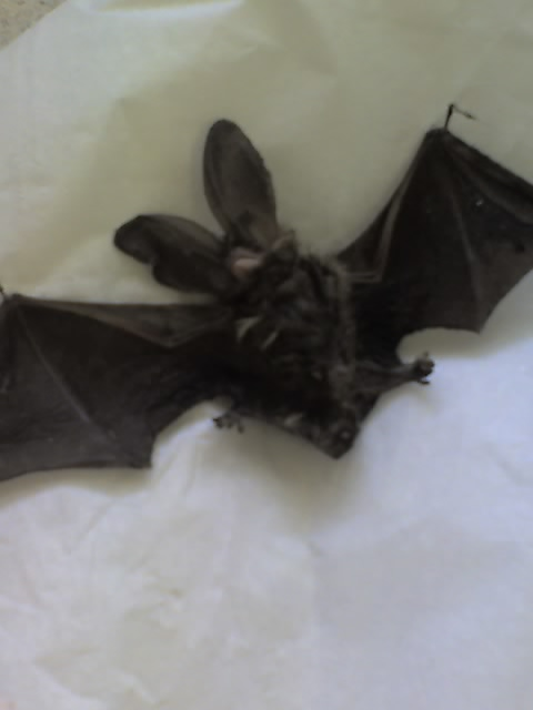 Long eared bat DOA