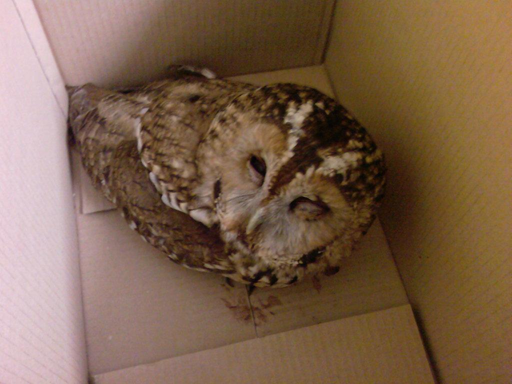 RTA tawny owl