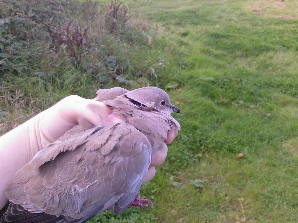 Ring neck dove/collared dove