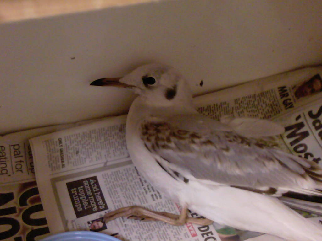 Back headed gull