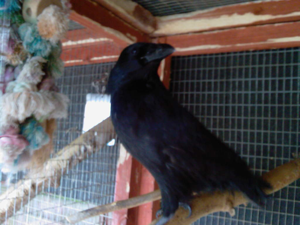 Anubis the hand reared crow.