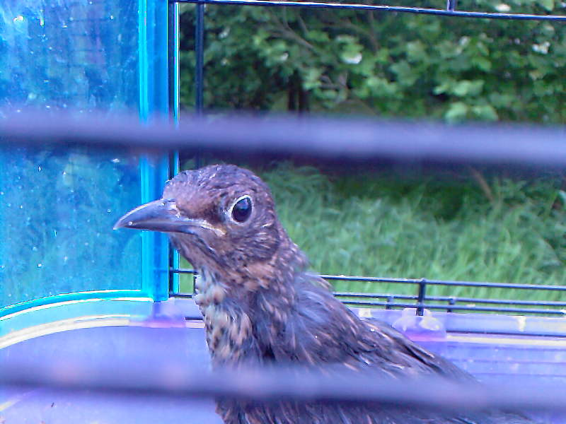 Blackbird being released...he didnt want to go