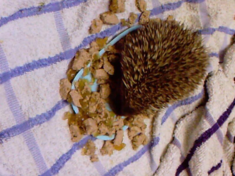 Baby hedgehog enjoying a meal to himself