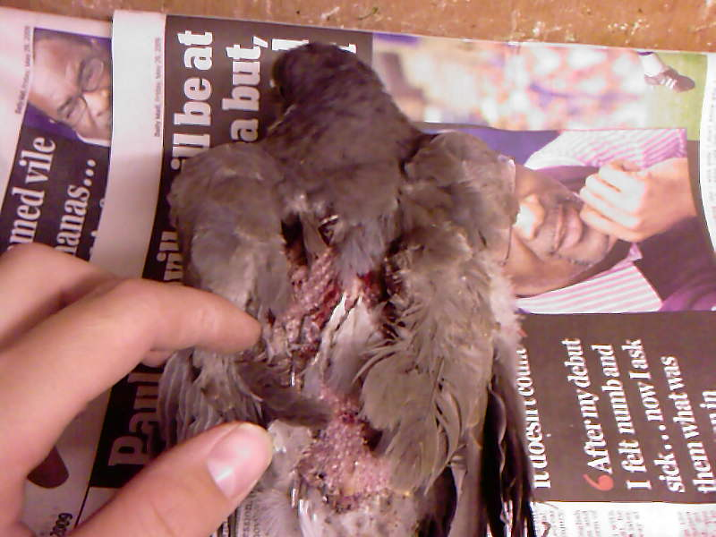Pigeon with injuries from sparrowhawk attack 2